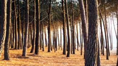 Piromane Porto Viro pineta